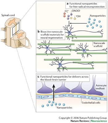 Applications of nanotechnology in clinical neuroscience. Nanotechnology can be used to limit and/or reverse neuropathological disease processes at a molecular level or facilitate and support other approaches with this goal. (a) Nanoparticles that promote neuroprotection by limiting the effects of free radicals produced following trauma (for example, those produced by CNS secondary injury mechanisms). (b) The development and use of nanoengineered scaffold materials that mimic the extracellular matrix and provide a physical and/or bioactive environment for neural regeneration. (c) Nanoparticles designed to allow the transport of drugs and small molecules across the blood-brain barrier (Ref. 7; reproduced with permission from Nature Publishing Group © 2006.)