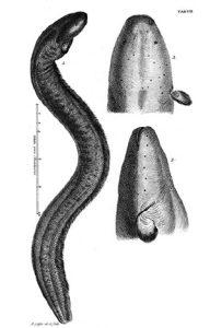 Fig. 3. Trembling eel from Gronov's Zoophylacium (1758)