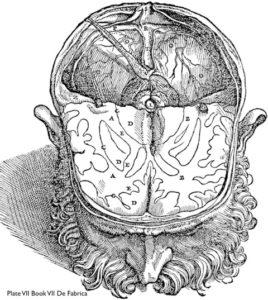Plate VII, Book VII, Vesalius's 'De Fabrica'